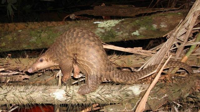圖中是一隻穿山甲,現在該動物被指為武漢病毒的傳播者