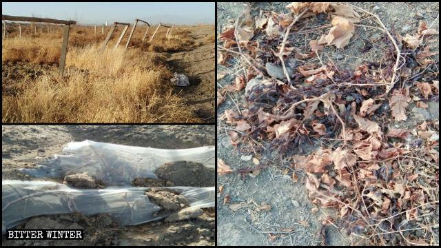 新疆鄯善縣大片荒廢的葡萄地