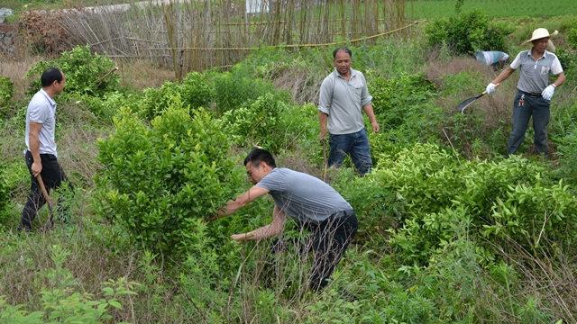 今年5月,廣西省灌陽縣文市鎮政府官員組織退果還糧(砍伐果樹種植糧食)活動(網絡圖片)