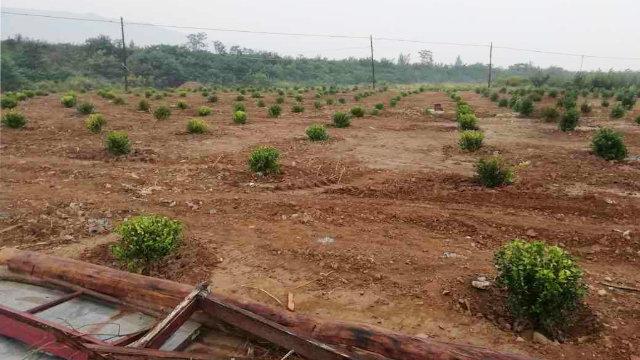 墓地及四間休息室的廢墟上被種上了植被(知情人提供)